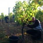 Florian aan de druivenpluk