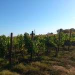 Ons eerste bezoek aan een van de druivenvelden van de familie Platz